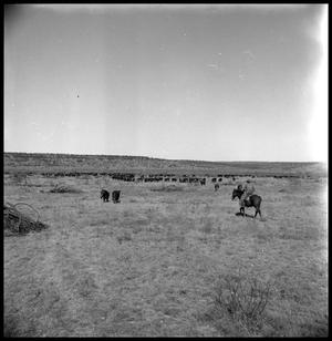 [Herd of Cattle and a Cowboy]