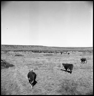 [Herd of Cattle]