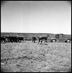 [Cattle Approaching Truck]