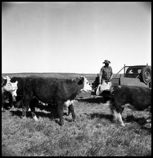 Primary view of object titled '[Cowboy on Truck near Cattle]'.