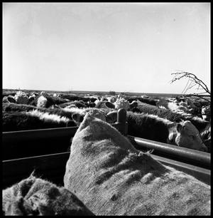 Primary view of object titled '[Cattle Gathered Around Feedsacks in a Truck]'.