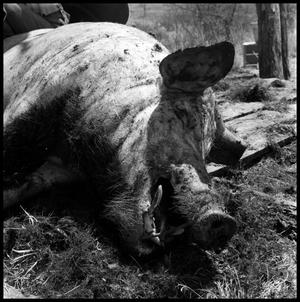 Primary view of object titled '[Dead and Partially Scraped Hog]'.