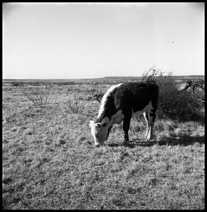 Primary view of object titled '[Cow in Pasture]'.