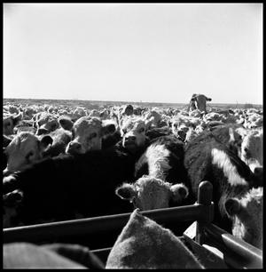 [Cattle Crowding around the Back of a Pickup Truck]
