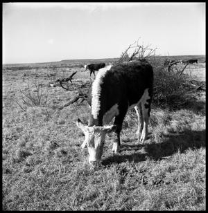 Primary view of object titled '[Cattle Grazing in Pasture]'.