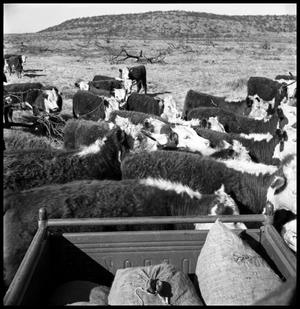 Primary view of object titled '[Cattle Standing around the Back of a Pickup Truck]'.