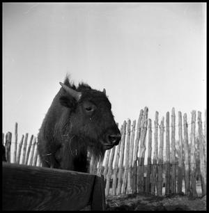 Primary view of object titled '[Close Up of a Buffalo Calf]'.