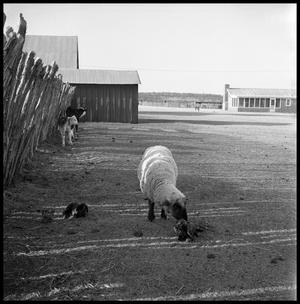 Primary view of object titled '[Ewe with Lambs on Ranch Lot]'.