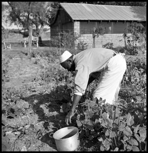 Primary view of object titled '[Oliver Jacobs Picking Beans]'.