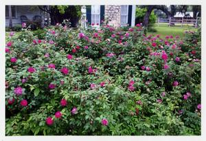 [Photograph of a Large Rose Bush]