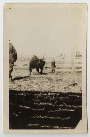 [Photograph of Handlers with a Buffalo]