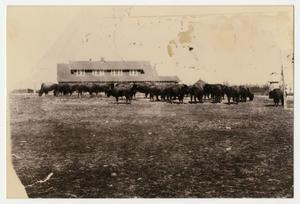 [Photograph of Buffalo at Goodnight Buffalo Ranch]