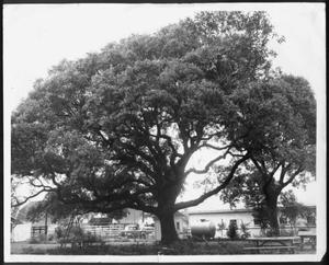 Primary view of object titled '[Photograph of the Nancy Jones oak tree in the George Ranch house yard]'.
