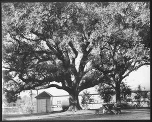 Primary view of object titled '[Photograph of the Nancy Jones oak tree in the George Ranch yard]'.