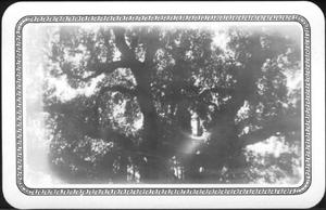 Primary view of object titled '[Photograph of the Nancy Jones Oak tree]'.