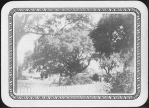 Primary view of object titled '[Photograph of the George Ranch house yard spotlighting the Nancy Jones Oak tree]'.