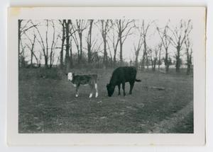 Primary view of object titled '[Photograph of Cows Grazing on the Back Farm]'.
