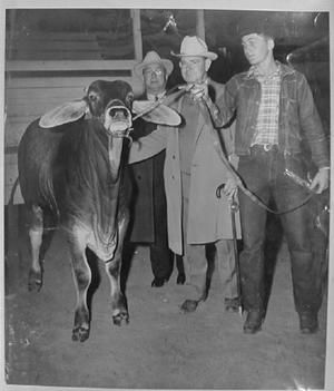 Primary view of object titled '[Photograph of a young man with a Brahman show steer]'.