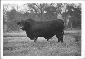 Primary view of object titled '[Photograph of a bull in a pasture on the George Ranch]'.