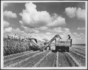 Primary view of [Photograph of milo harvesting on the George Ranch]