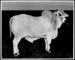 Primary view of [Photograph of a white Brahman bull standing in a pasture]