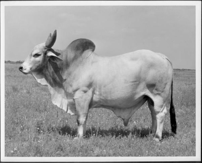 Photograph of a white Brahman bull (side view) standing in a (flower filled) pasture on the King Ranch.