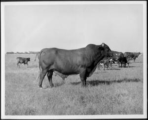 Primary view of object titled '[Photograph centers on a Santa Getrudis bull in a pasture]'.