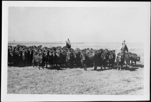 Primary view of object titled '[Photograph of a herd of Santa Getrudis cattle]'.