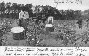 Primary view of object titled '[Cotton field near Galveston, Texas]'.