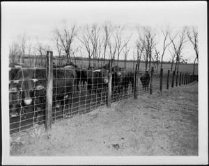Primary view of object titled '[Photograph of a small herd of cattle looking through the wire fence]'.