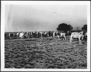 Primary view of object titled '[Photograph of a herd of Brahman cattle in a pasture]'.