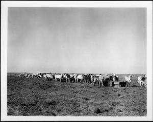 Primary view of object titled '[Photograph of a herd of Brahman cattle near wooden feeding troughs in a pasture]'.