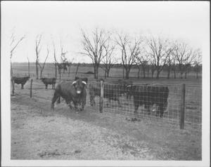 Primary view of object titled '[Photograph of a bull near a fence line]'.
