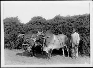 [An African-American man holding the leather reins to two Brahman bulls that are harnessed together]