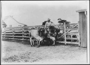 Primary view of [An African-American man riding a Brahman cow]