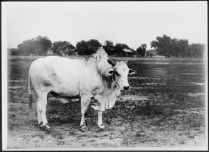 Primary view of object titled '[A Brahman bull (facing right  side of photo)]'.