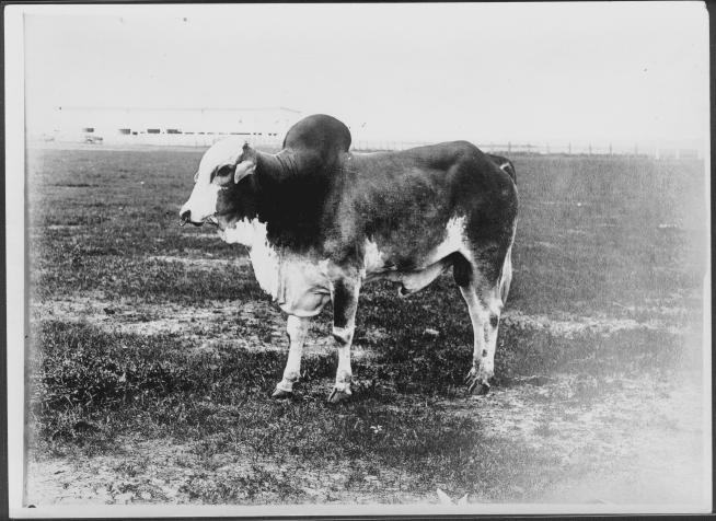 [Photograph of a Brahman bull]                                                                                                      [Sequence #]: 1 of 1