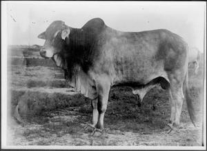 Primary view of object titled '[A Brahman bull  facing left of photo]'.