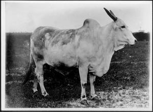 [Photograph of a Brahman cow (facing right of photo)]