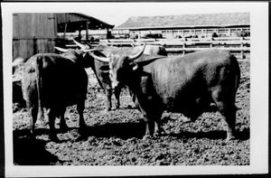 Primary view of object titled '[Photograph of Santa Gertrudis steers in stock pens]'.