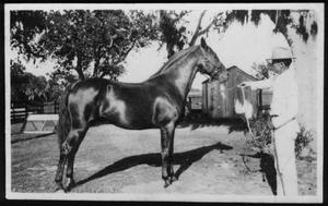 Primary view of object titled '[Albert Peyton George showing a horse at his ranch]'.