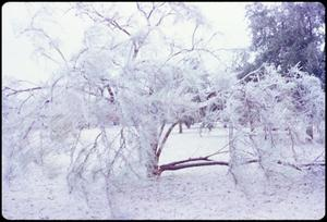 Primary view of object titled '[Trees Broken by Ice Storm]'.