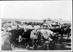 [A large herd of cows and two women standing on a platform at Goliad Ranch]