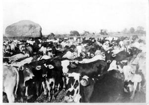 [A Large herd of cows at Goliad Ranch]