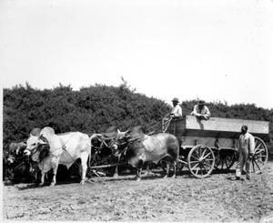 Primary view of object titled '[Photograph of four oxen harnessed to a wagon]'.