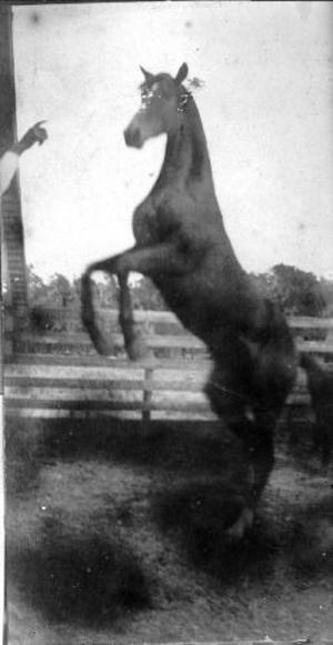 Primary view of object titled '[A dark horse raising up on its hind legs]'.