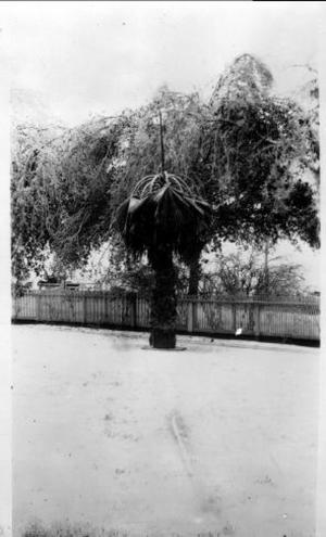 Primary view of object titled '[Photograph of Palm Tree]'.