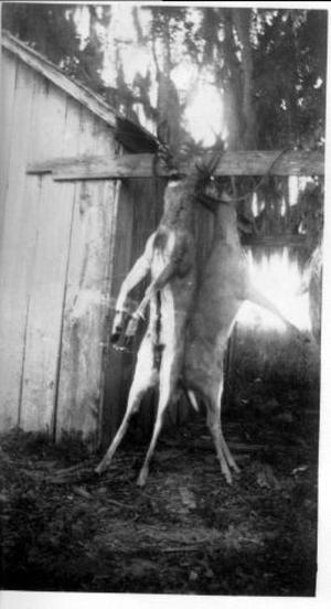 Primary view of object titled '[Two hunted deer hung by their heads to either side of a wooden slat]'.