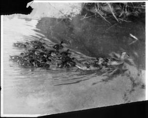 Primary view of object titled '[Two large ducks leading ducklings behind them in water]'.