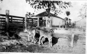 Primary view of object titled '[Three calves in a short pen]'.